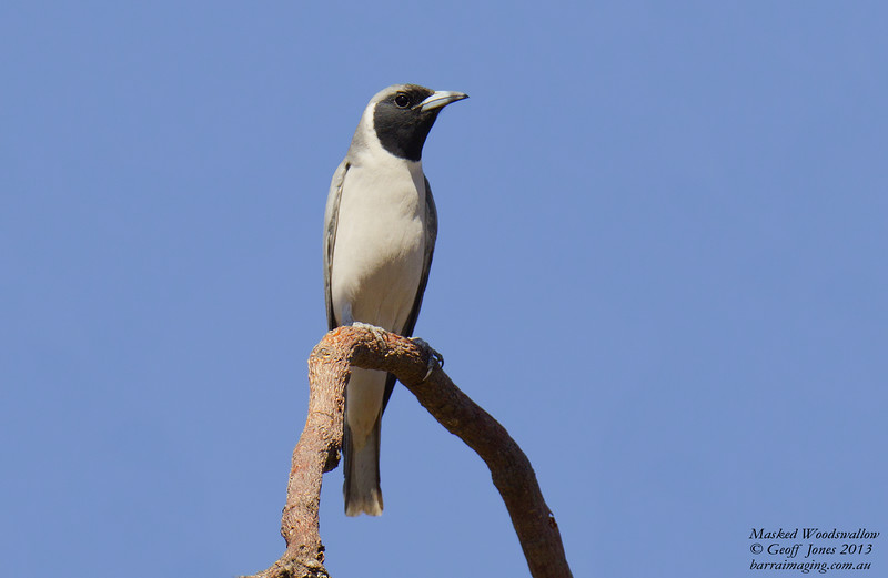 Masked Woodswallow male