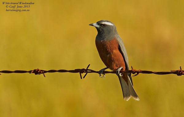 White-browed Woodswallow male