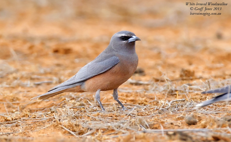 White-browed Woodswallow female