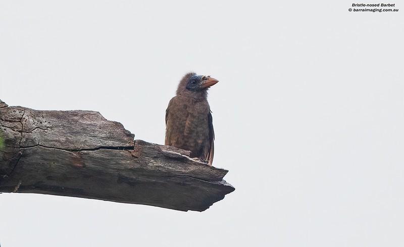 Bristle-nosed Barbet