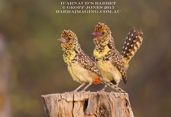 Barbets African Family Lybiidae