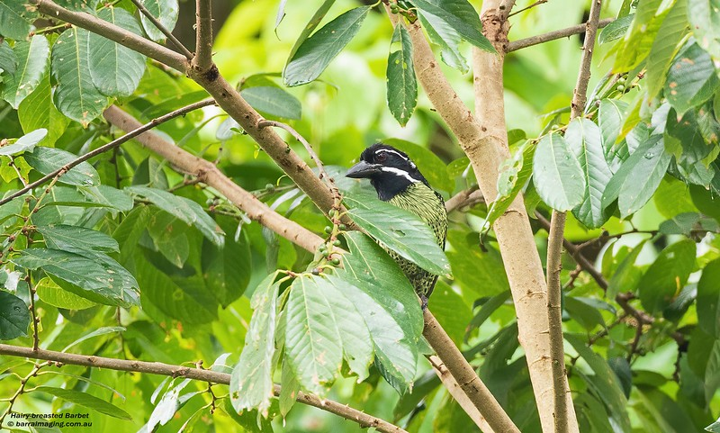 Hairy-breasted Barbet