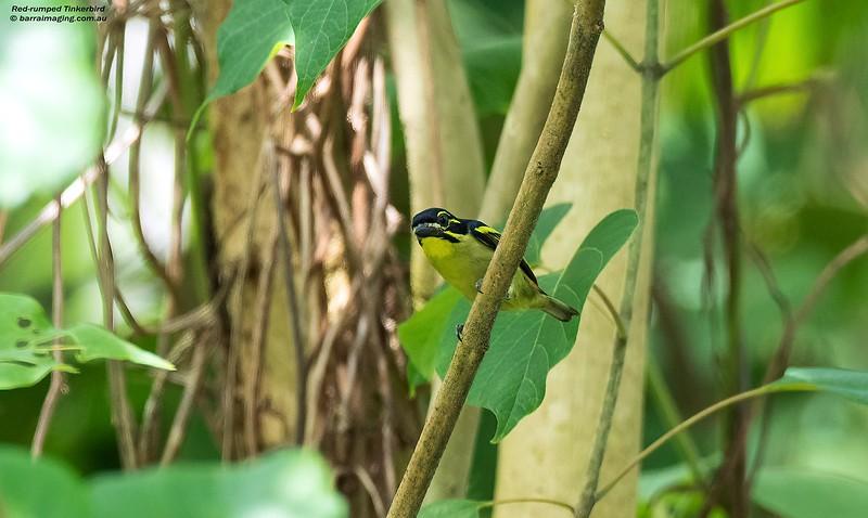 Red-rumped Tinkerbird