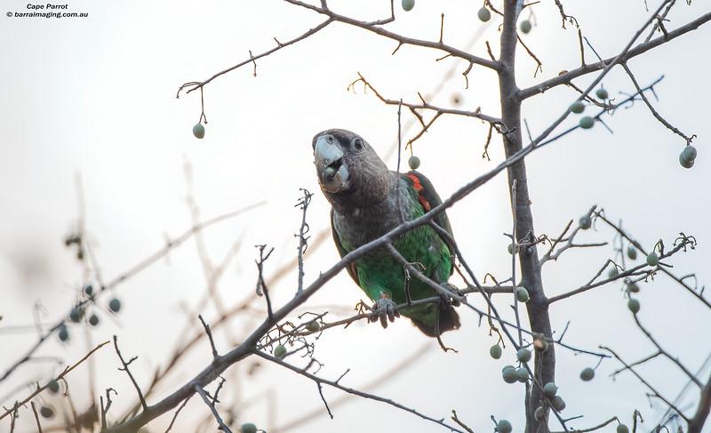 Cape Parrot male