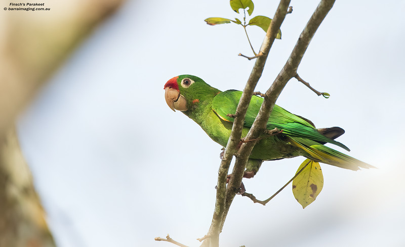 Finsch's Parakeet