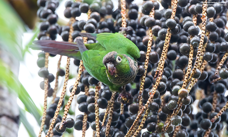 Maroon-tailed Parakeet