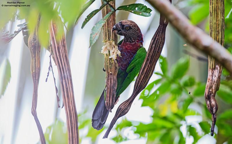 Red-fan Parrot
