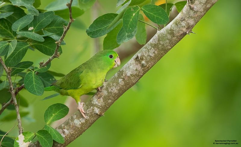 Spectacled Parrotlet female