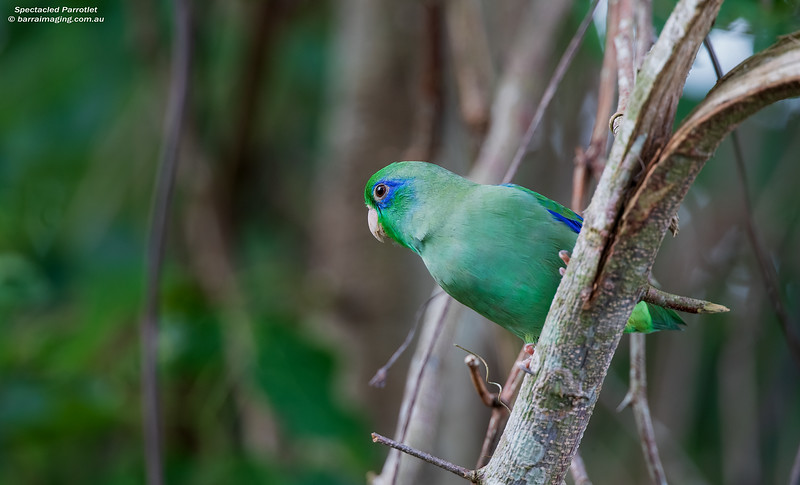 Spectacled Parrotlet male