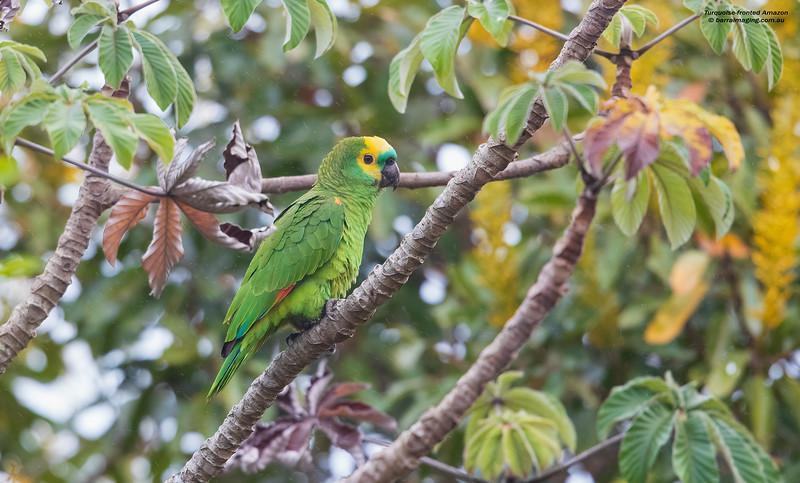 Turquoise-fronted Amazon
