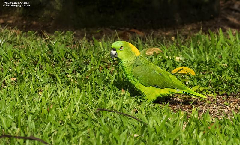 Yellow-naped Amazon