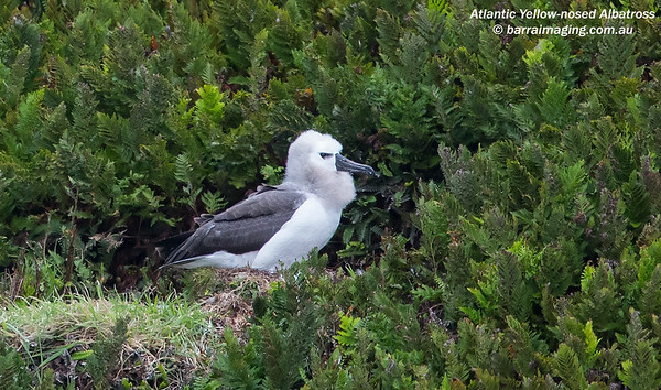 Atlantic Yellow-nosed Albatross Juv