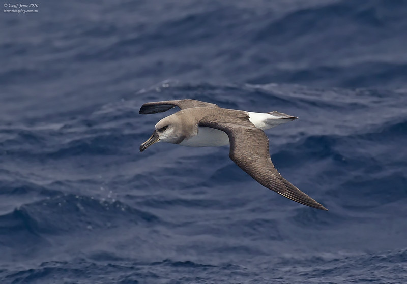 Grey-headed Albatross imm