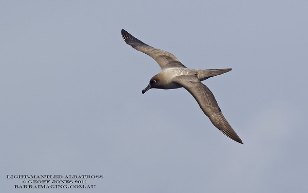 Light-mantled Albatross 2