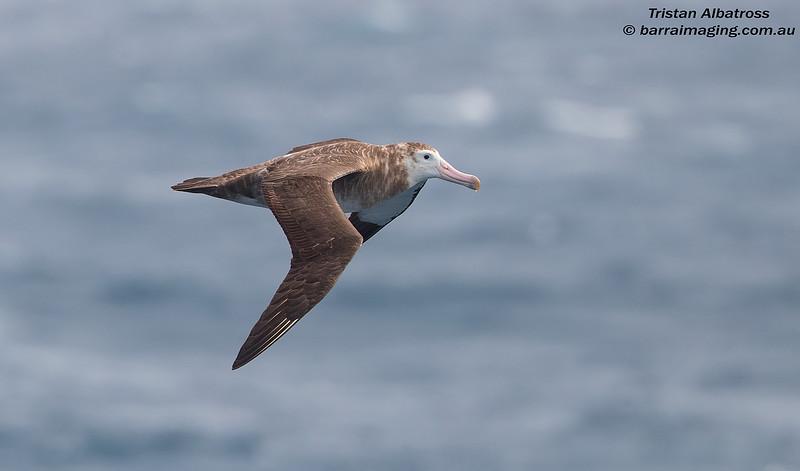 Tristan Albatross female