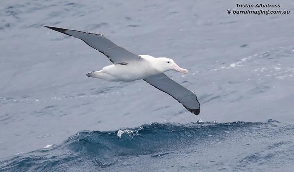 Tristan Albatross male
