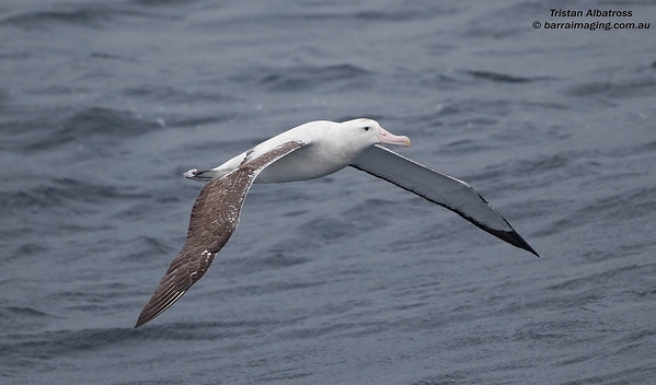 Tristan Albatross male