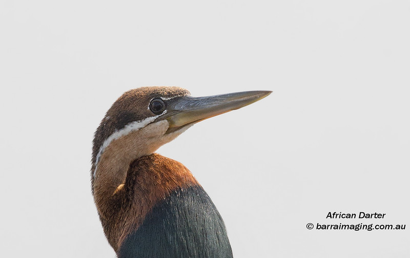 African Darter male