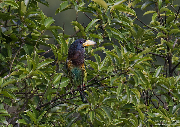Barbets Asian Family Megalaimidae