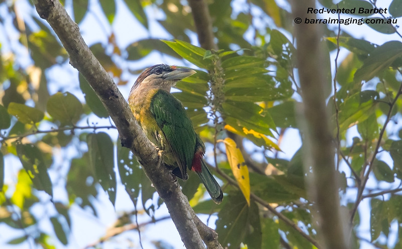 Red-vented Barbet