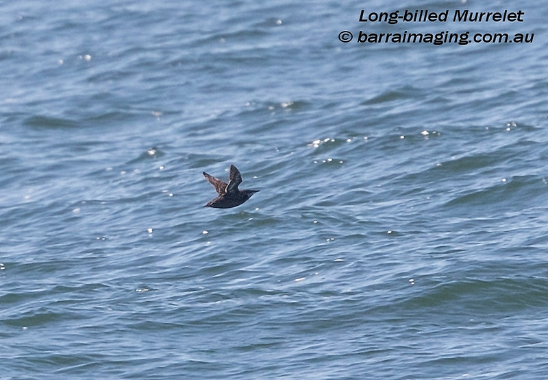 Long-billed Murrelet