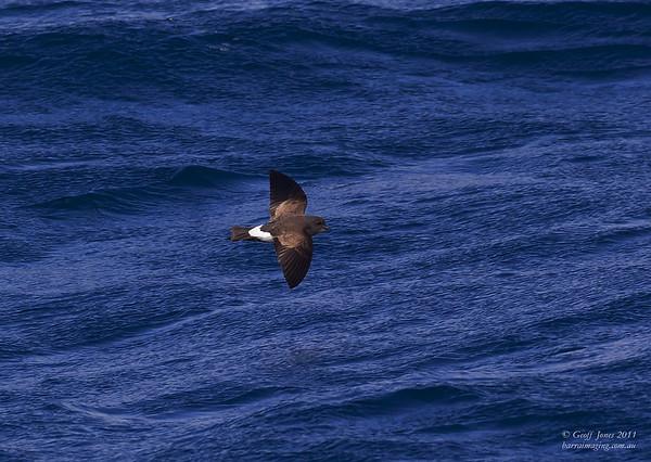 Black-bellied Storm-Petrel ( Fregetta tropica ) Off Tasmanian South East Coast Dec 2011.jpg AU00677a