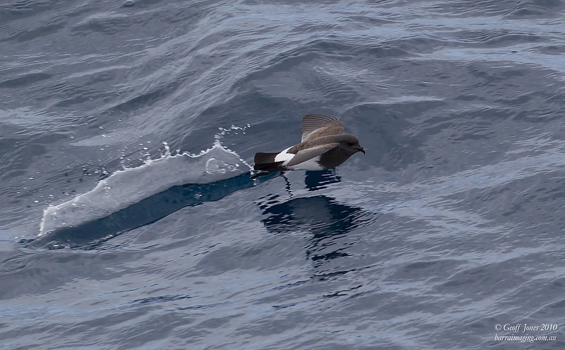 Black-bellied Storm Petrel ( Fregetta tropica ) The Snares To Auckland Island NZ Nov 201.jpg NZ00677d