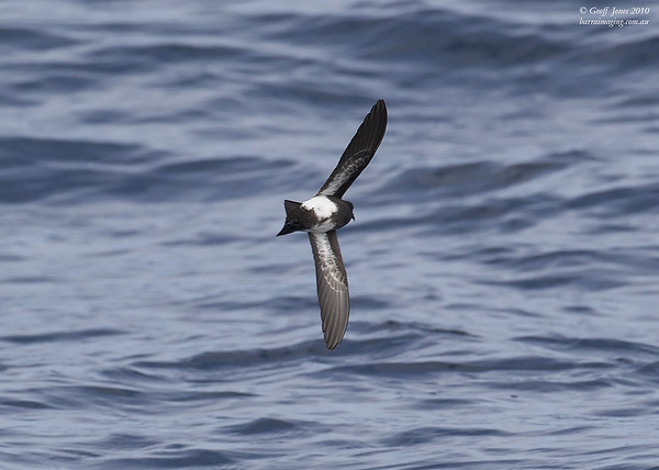 Black-bellied Storm Petrel ( Fregetta tropica ) The Snares To Auckland Island NZ Nov 201.jpg NZ00677c