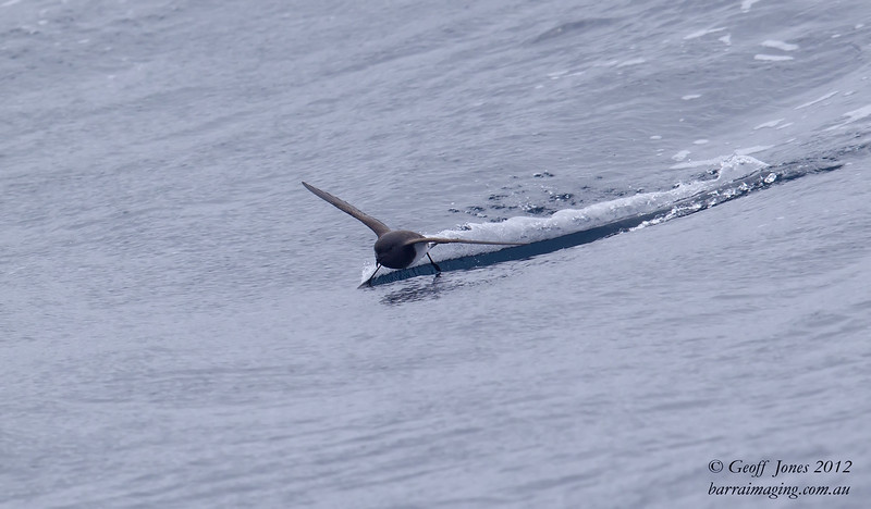 Black-bellied Storm Petrel ( Fregetta tropica ) Southern Idian Ocean Nov 2012.jpg SIO00677a