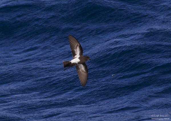 Black-bellied Storm-Petrel ( Fregetta tropica ) Off Tasmanian South East Coast Dec 2011.jpg AU00677b
