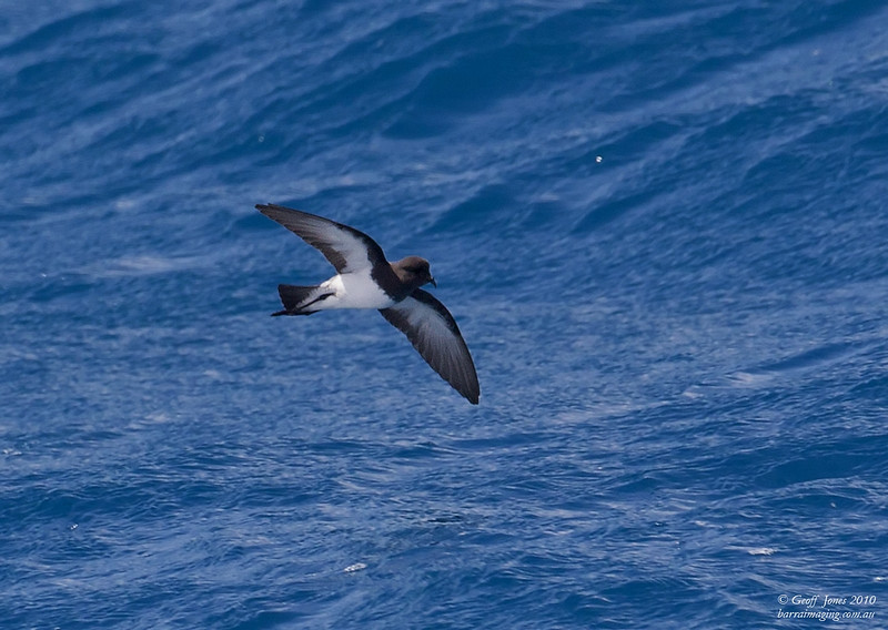 Grey-backed Storm Petrel