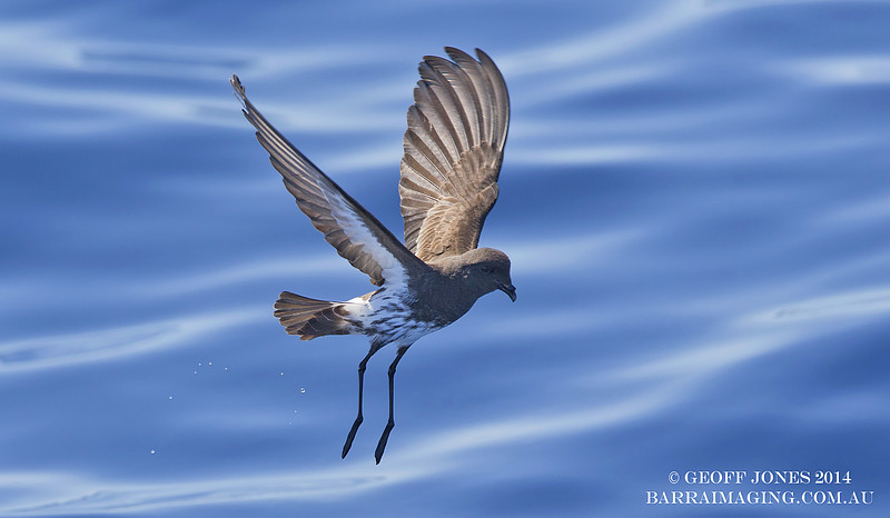 New Zealand Storm Petrel ( Fregetta maoriana ) NZ-NZSP-07 Hauraki Gulf NZ Jan 2014