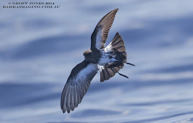 New Zealand Storm Petrel ( Fregetta maoriana ) NZ-NZSP-04 Hauraki Gulf NZ Jan 2014