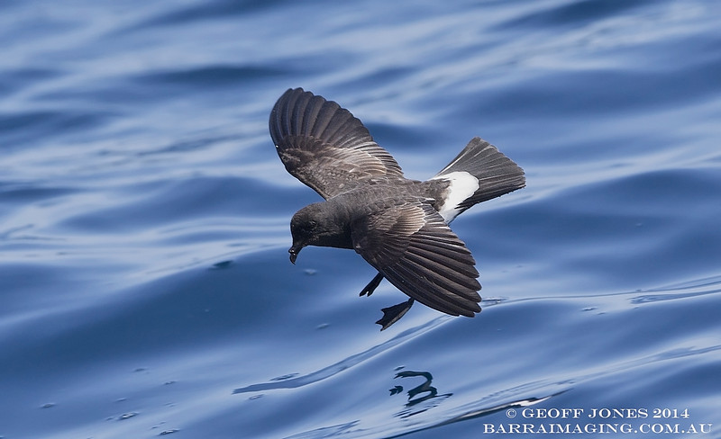 New Zealand Storm Petrel ( Fregetta maoriana ) NZ-NZSP-08 Hauraki Gulf NZ Jan 2014