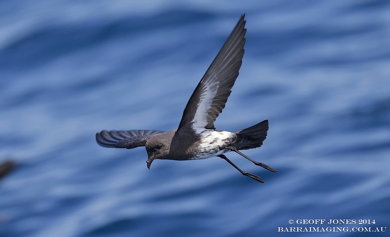 New Zealand Storm Petrel ( Fregetta maoriana ) NZ-NZSP-06 Hauraki Gulf NZ Jan 2014