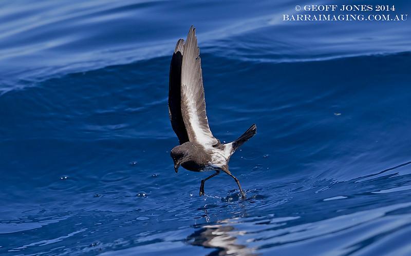 New Zealand Storm Petrel ( Fregetta maoriana ) NZ-NZSP-03 Hauraki Gulf NZ Jan 2014