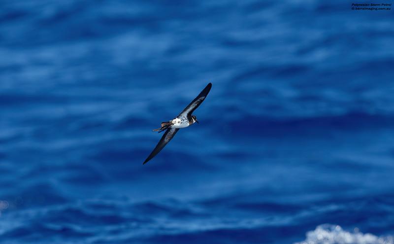 Polynesian Storm Petrel