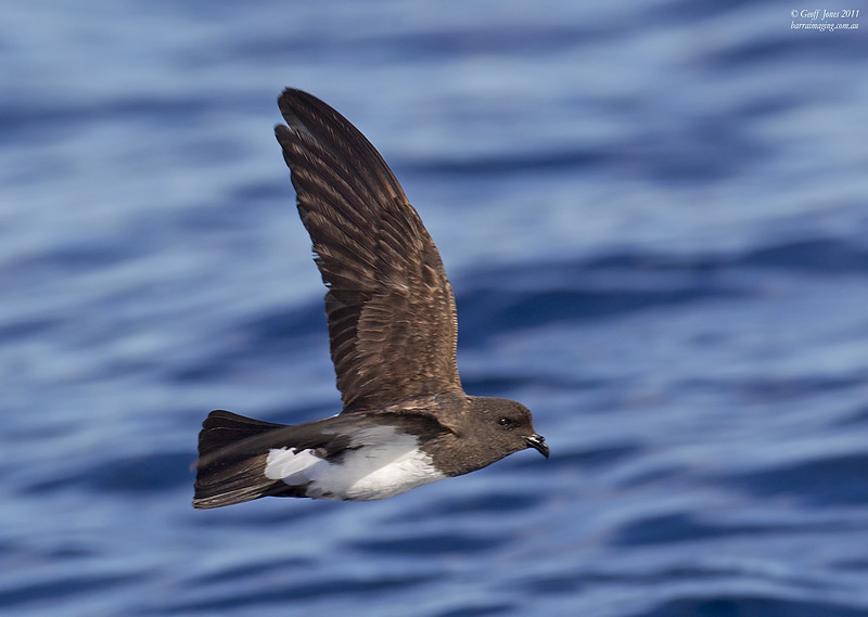 White-bellied Storm-Petrel ( Fregetta grallaria ) AU-WBSP-01 Lord Howe NSW May 2011