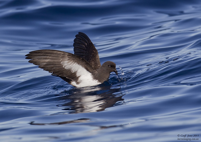 White-bellied Storm-Petrel ( Fregetta grallaria ) AU-WBSP-03 Lord Howe NSW May 2011
