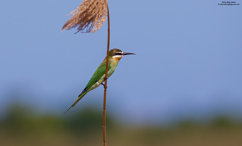 Olive Bee-eater