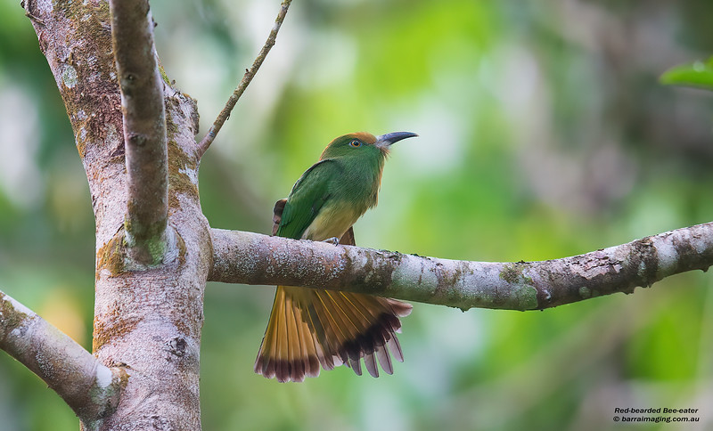 Red-bearded Bee-eater immature