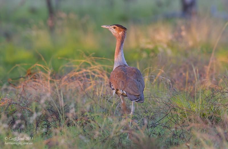 Australian Bustard male