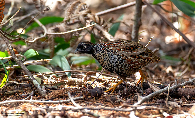 Black-breasted Buttonquail female