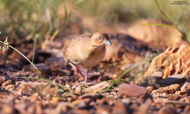 Little Buttonquail female