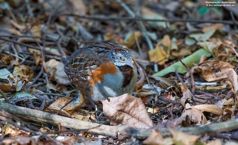 Madagascan Buttonquail female