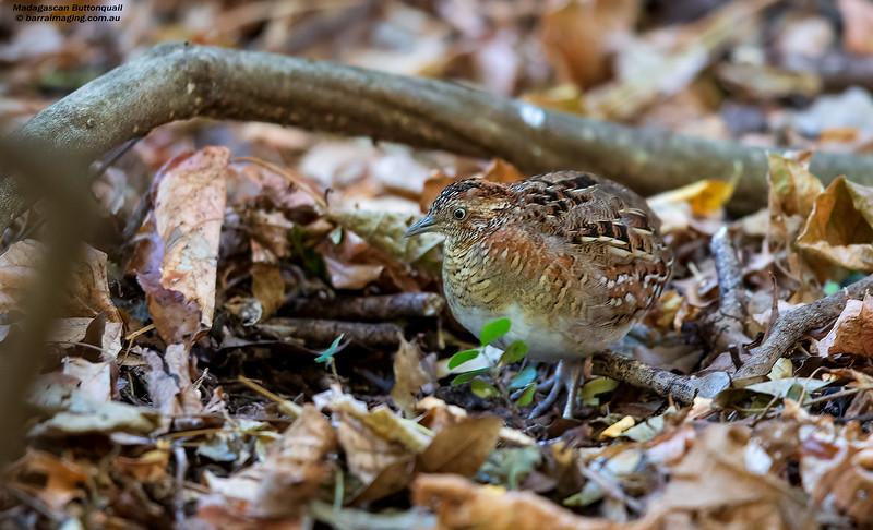 Madagascan Buttonquail male