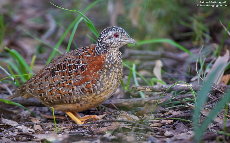 Painted Buttonquail female