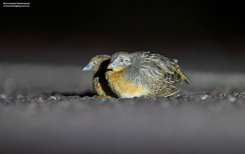 Red-chested Buttonquail male