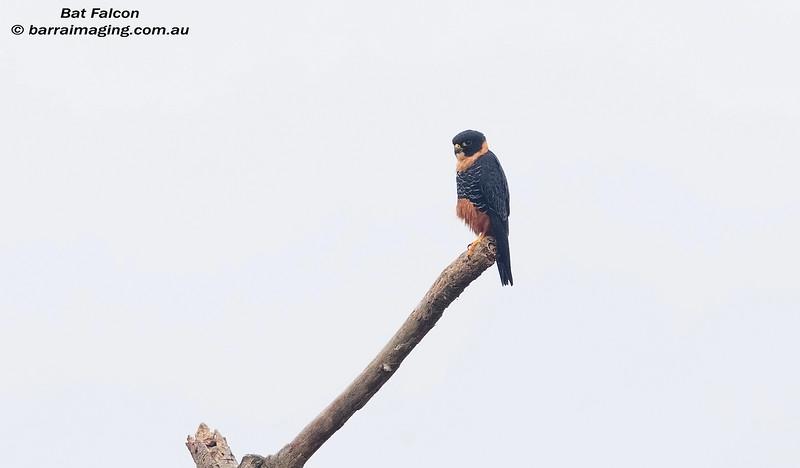 Bat Falcon juvenile