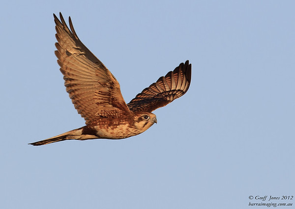Brown Falcon
